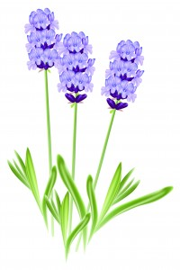 Lavender flowers (Lavandula). Vector illustration on white backg
